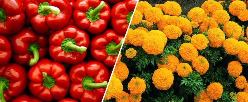 marigold flower and red pepper